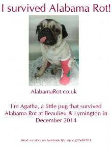 Agatha a pug. Read about me http://goo.gl/5aKD9H