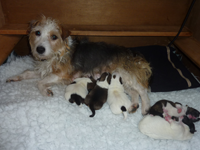 squibby-puppies
