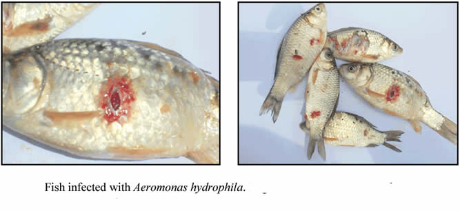 Fish with Aeromonas hydrophila (3)