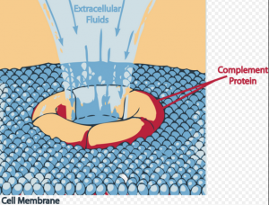 Membrane Attack Complex formation is prevented by Eculizumab by inhibition of Complement C5 cleavage.